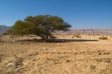 Alone Tree In Desert Royalty Free Stock Image