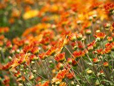 Free Orange Flowers Royalty Free Stock Image - 4085696
