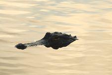 Free American Alligator Royalty Free Stock Image - 4086466