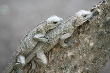 Free Lizards Stock Image - 4086611