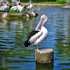 Free Pelican Sunbathing Royalty Free Stock Photography - 4086687