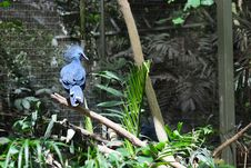 Free Crowned Pigeon Stock Images - 4086734