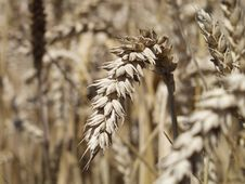 Free Spike Of Grain In A Field Stock Photos - 4087903