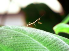 Free Tiny Mantis Royalty Free Stock Images - 4087929
