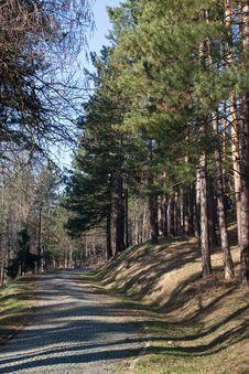Pine Trees Path Stock Photo