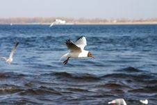 Free The Seagull Flies Above The Sea Stock Image - 4088441