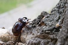 Free A Beetle Named Rhinoceros (cervus) On The Stub 2 Royalty Free Stock Photography - 4088497