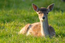 Free Blurred Shot Of A Deer In The Grass Royalty Free Stock Photo - 4088985