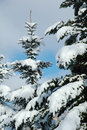 Free Snow Covered Branch Stock Photography - 4096622