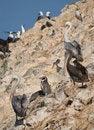 Free Wildlife On Islas Ballestas In Peru Stock Photos - 4098243
