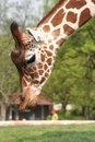 Free Giraffe Close Up Stock Photography - 4099082