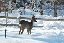 Free Deer II Stock Photos - 4090723