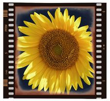 Free Sunflower On Frame Royalty Free Stock Images - 4091339