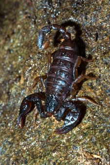 Free Scorpion Royalty Free Stock Photo - 4091495