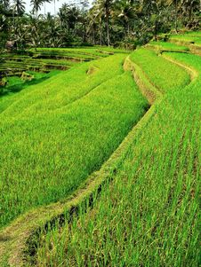 Free Balinese Rice Field7 Royalty Free Stock Photography - 4093307