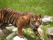 Free Ready To Pounce - Siberian Tiger Royalty Free Stock Photo - 4093825