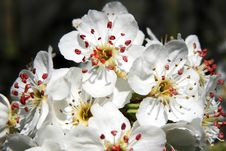 Free Apple Flowers Stock Photography - 4094452
