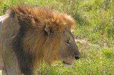 Free King Lion Stock Photography - 4094602