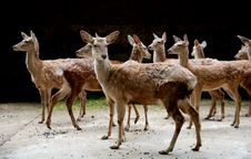 Free A Covey Of Deers Stock Photo - 4094660