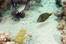 Free Orange-striped Triggerfish Royalty Free Stock Photo - 4095245
