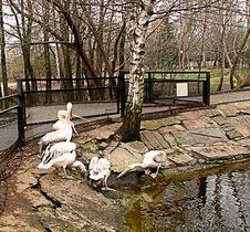 Pelicans In Zoo Stock Image