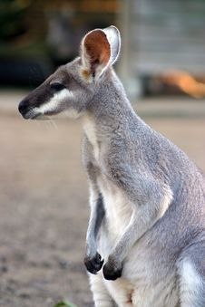 Free Kangaroo Stock Photo - 4095490