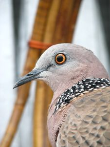 Free Spotted Neck Pigeon Stock Photos - 4096603