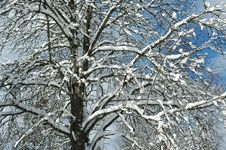 Snow On Branches II Royalty Free Stock Photo