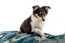 Free Scottish Collie Puppy Dog Royalty Free Stock Images - 4097549