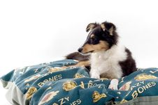 Free Scottish Collie Puppy Dog Royalty Free Stock Photo - 4097575