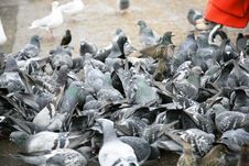 Free Pigeons Attack Stock Image - 4098201