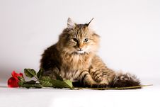 Young Cat For Valentines Day Stock Photography