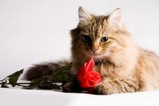 Free Sweet Little Cat With Valentine Rose Royalty Free Stock Photos - 4098458