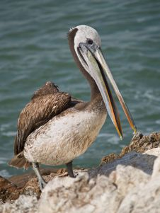 Close-up Of A Pelican Royalty Free Stock Image