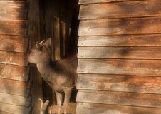Free Deer Royalty Free Stock Images - 4098939