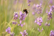 Free Lavender With A Bee Stock Photos - 4099213