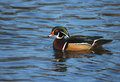 Free Wood Duck Stock Images - 413284