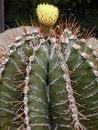 Free Yellow Cactus Royalty Free Stock Photos - 414228