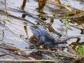 Free Small Marsh Dinosaur Stock Image - 418741