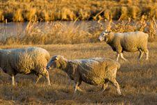 Free Sheep Farm Stock Photography - 410012