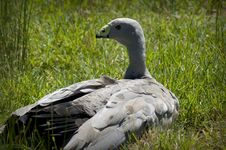 Free Cape Barren Goose Royalty Free Stock Photography - 410907
