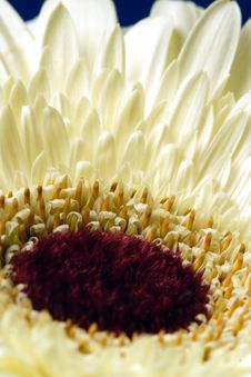 Free Gerbera Stock Photo - 412000