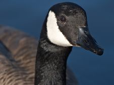 Free Canada Goose Portrait Royalty Free Stock Photo - 413205