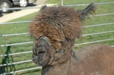 Free Brown Alpaca Royalty Free Stock Photo - 414415