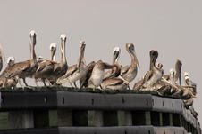 Free Pelican Briefing Royalty Free Stock Photography - 414467
