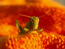 Free Green Grasshopper 1 Royalty Free Stock Photography - 415687