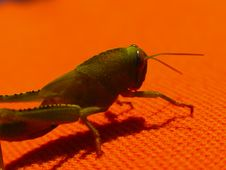 Free Green Grasshopper 3 Stock Photos - 415703