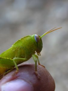 Free Green Grasshopper 4 Stock Photo - 415720
