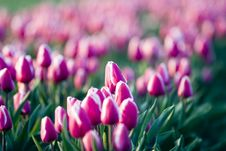 Free Dutch Tulips Royalty Free Stock Image - 417076