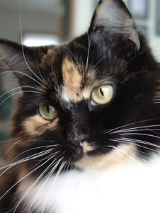 Free Calico Cat Stock Image - 417631
